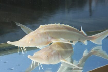 Albino Sterlet